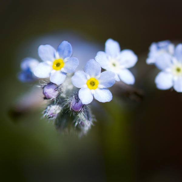 Tiny blue flowers: small blue flowers