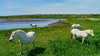 Four White Horses Of Aberffraw