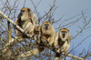 howler monkeys 4