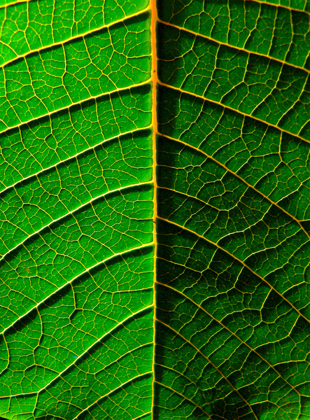 leaf: leaf of the Puansetia