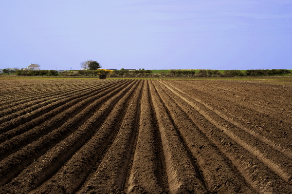 Agriculture: A field ploughed and sown with potatoes.  Coastal farm near Pilling, Lancashire, UK.