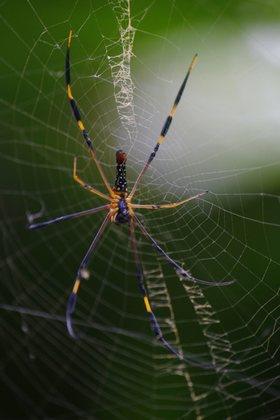 Tiger Spider: Taken from Munnar in kerala