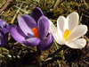 Delightful Crocus