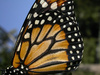 Monarch wing detail