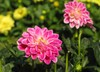 blooming dahlias
