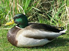 mallard