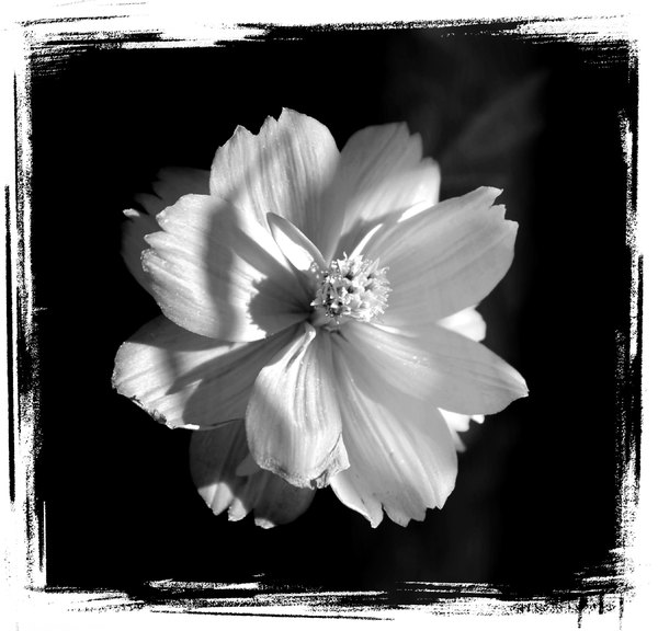 White Flower on black Grunge: A delicate white flower on a black grunge background.