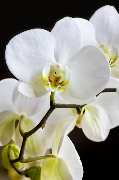 Orchid: White orchid