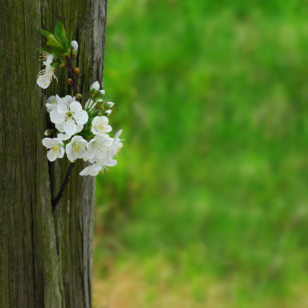 Blossoms: Blossoming tree branch with white flowers