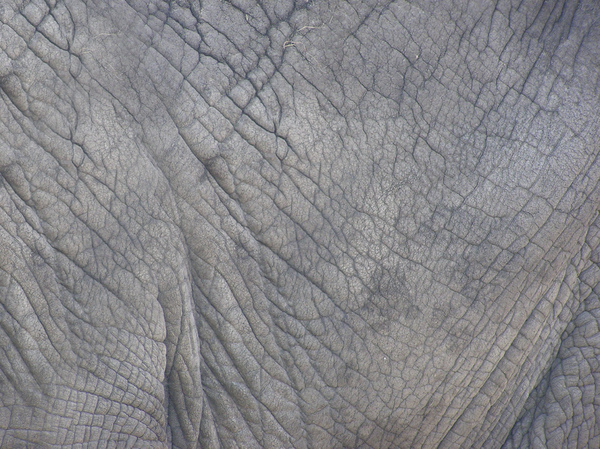 Elephant skin: A skin of an elephant
