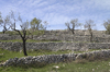 Olive tree terraces
