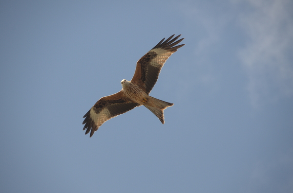 Red kite 1: Redkite in Galloway, SW Scotland.