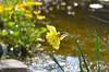 flowers on my pond