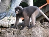 Langur