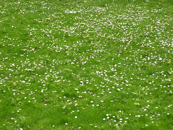 Lawn with folwers: Lawn, grass, flowers.