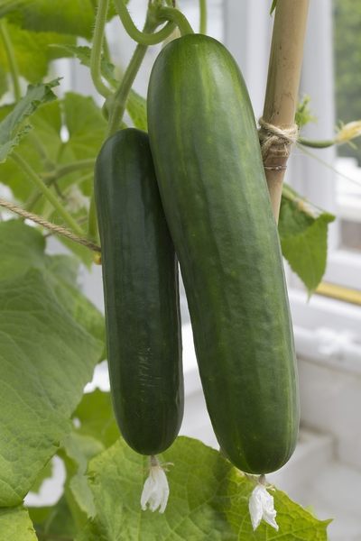 Cucumbers: Cucumbers (Cucumis sativus) growing in a greenhouse in West Sussex, England.