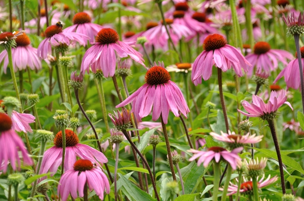 Purple coneflower 2: Purple coneflowers or Echinacea purpurea