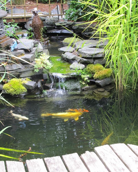 Fish in Japanese garden: Decorative koi fish swim in the pool of a Japanese Garden in Seattle. Small waterfall, sculpture, hanging branch, and footbridge visible.