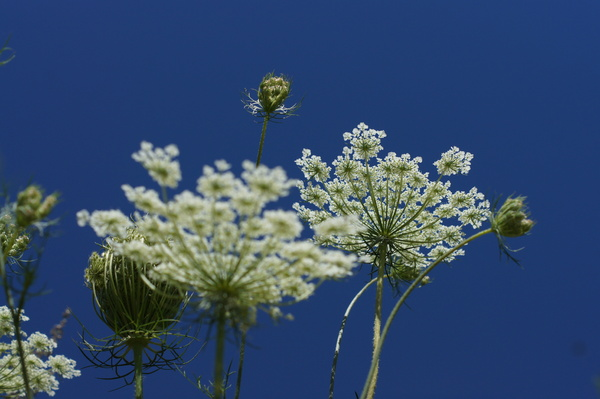 umbel flower: no description