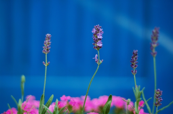 lavender: A blooming lavender.