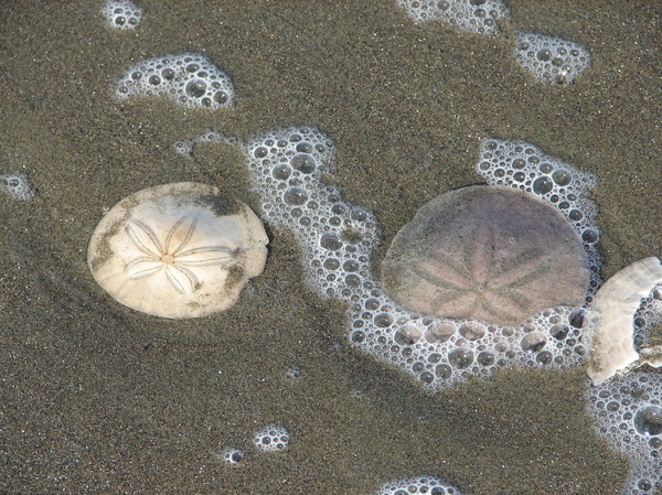 Sand Dollars: Sand dollars in the surf on Ocean Beach in San Francisco.