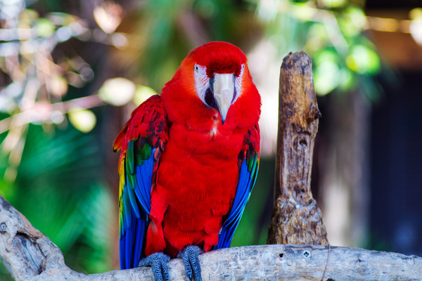 Scarlet Macaw: Arguably the most beautifully colored bird in the world, the Scarlet macaw is and has been a very popular parrot to have as a pet. Scarlets are known to be good mimics, capable of having large vocabularies, and very intelligent.