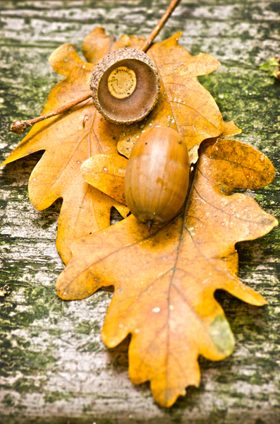 Acorn fall scene: Oak leaves with acorn