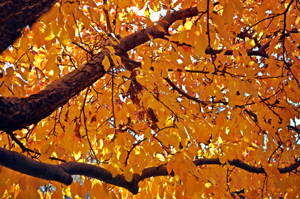 Cherry Tree in Fall Colors: Crop of a Sour Cherry Tree, resplendent with fall colours.