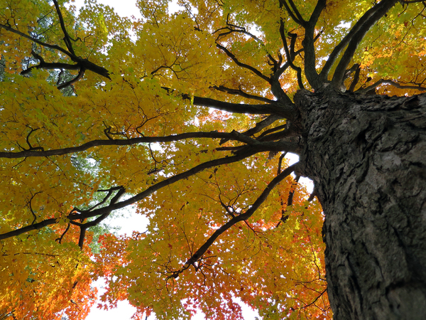 Fall Trees: Fall color.