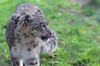 Snow leopard showing tongue