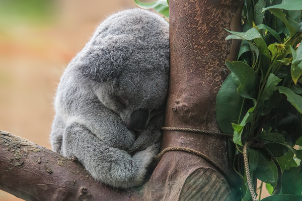 Koala bear sleeping: A picture of a cute koala bear sleeping in the zoo of Planckendael, Belgium