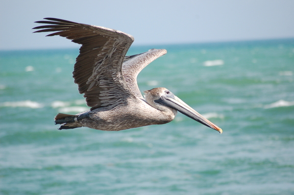 pelican series 4: A pelican taking a ride near South Beach in Miami.