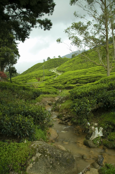 ::TEA PLANTATION::: The tea plantation at Cameron Highland, Malaysia...