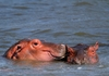 Hippopotamus (Hippo) family 4