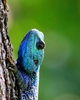 blue-head lizard 4