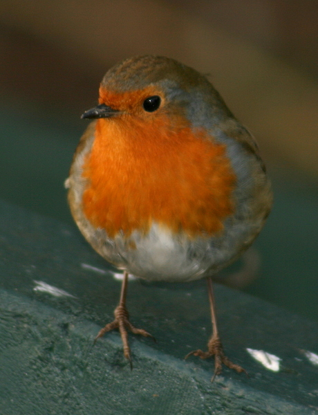 Robin: Robin in Winter