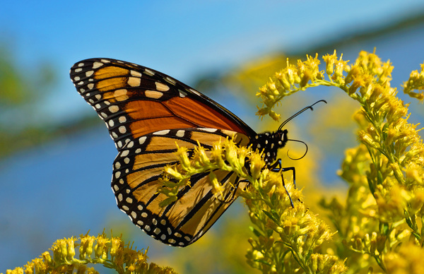 Monarch butterfly: Macro daylight shot