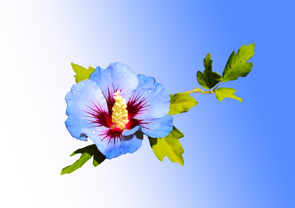 Blue Flower: Hibiscus syriacuse , after a wait of 5 years - it flowered