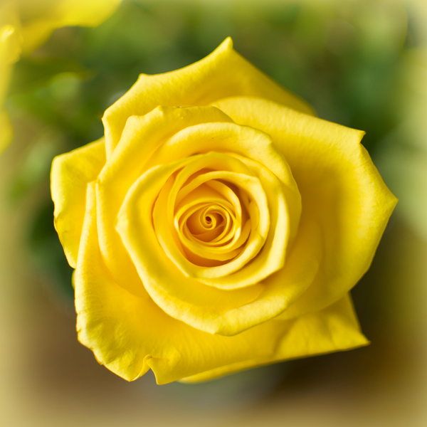 Yellow rose: Soft yellow rose
