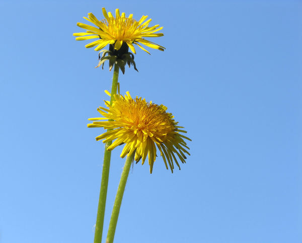 two dandelions: none