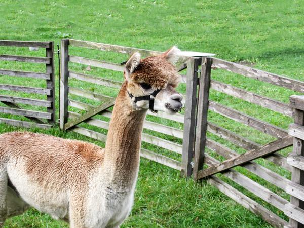 Alpaca alpaca for Alpaca view farm cuisine