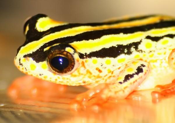 Reedfrog 5