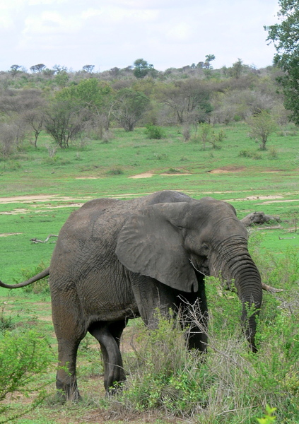 African Elephant Bull (male) 5