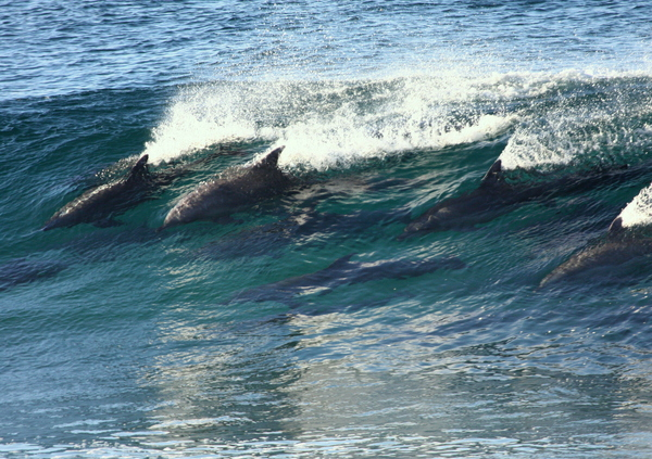 Dolphins, champion Surfers 5: Dolphins, possibly the best wave surfers in the world