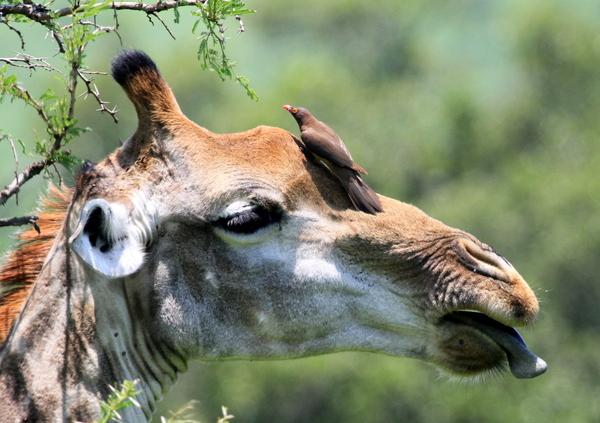 Giraffe & Oxpecker 2