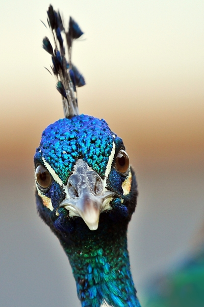 Angry Peacock: If looks could kill!