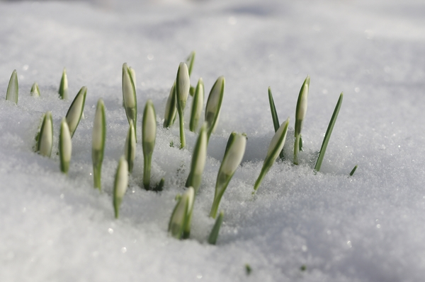 Snowdrops in snow: Snowdrops breaking through the snow