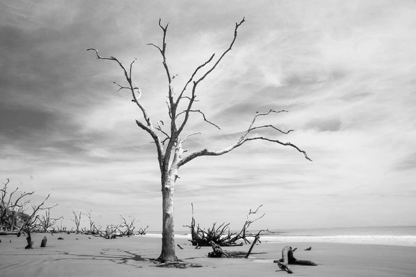 Dead tree: A dead tree bleached white by the sun on Boneyard Beach, Bull Island, South Carolina, USA
