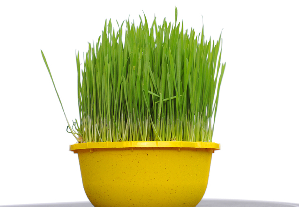 grass: green grass in yellow pot