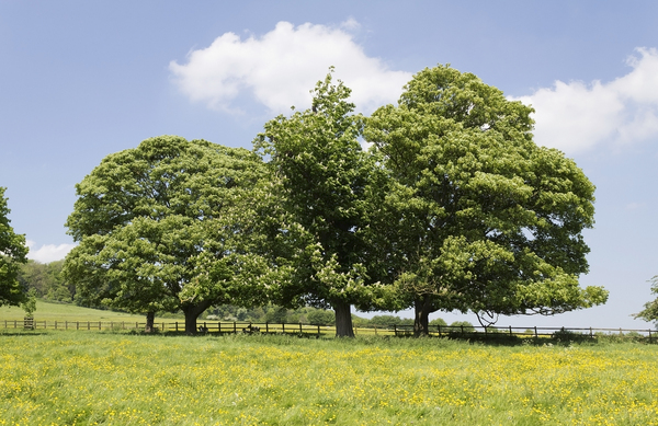 Trees in spring meadow: Trees bordering a meadow in Buckinghamshire, England, in spring.
